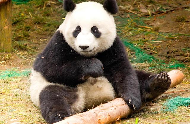 le panda cette salet contre nature