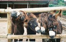 Le Cute Show : le pays des ânes