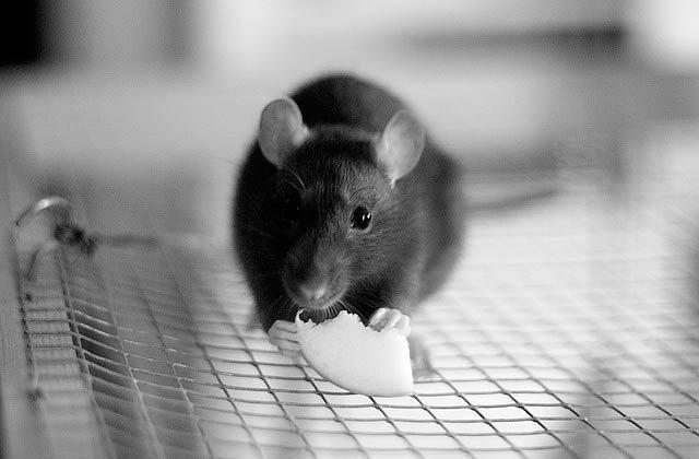 Hommage à mon défunt rat