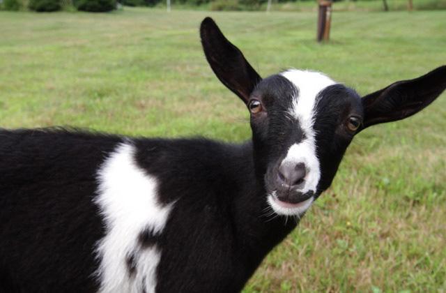 Le Cute Show : les chèvres pygmées nigérianes
