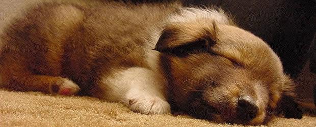 chiot-endormi
