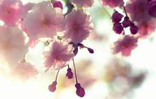 Cerisiers en fleurs – Carte postale du Japon