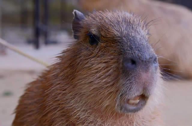 Le Cute Show – Les Capybaras