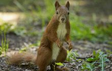 Pourquoi les écureuils anglais de Londres sont des monstres
