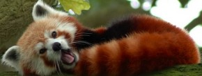 animal-mignon-panda-roux
