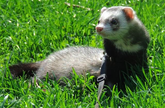 Furet animal - Comment utiliser un furet ...