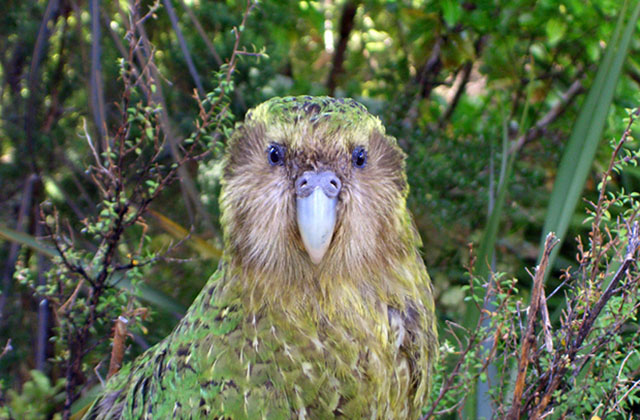 Nos amis les animaux. - Page 5 Kakapo-perroquet-con
