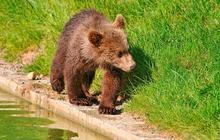 Une maman ours sauve son bébé : la vidéo adorable du jour
