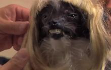 Jimmy Kimmel relooke le « chien le plus laid du monde »