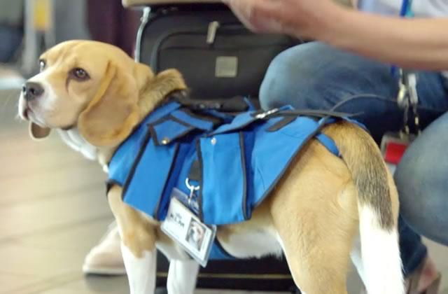 Le chien qui ramène les objets trouvés dans l'aéroport