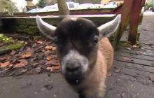 Benjamin, le bébé chèvre-nain le plus mignon de l'histoire