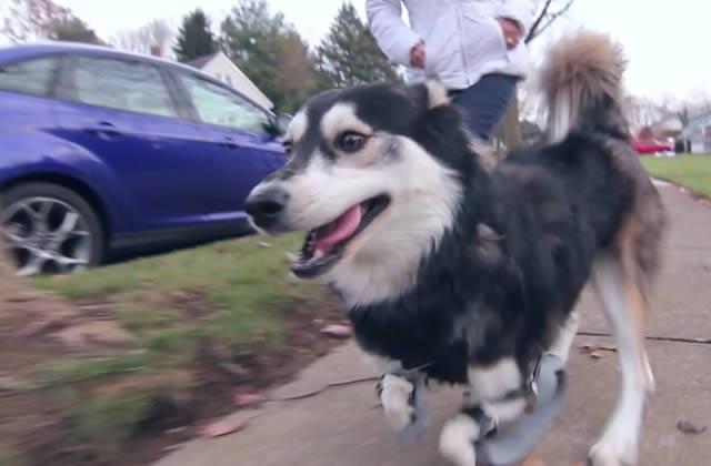 Derby, le chien handicapé équipé de prothèses issues d'une imprimante 3D