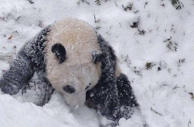Bao Bao, le panda qui découvre la neige