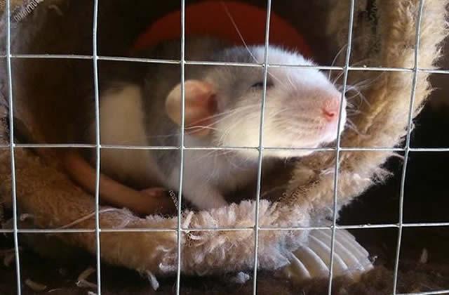J'ai testé pour vous… adopter des rats