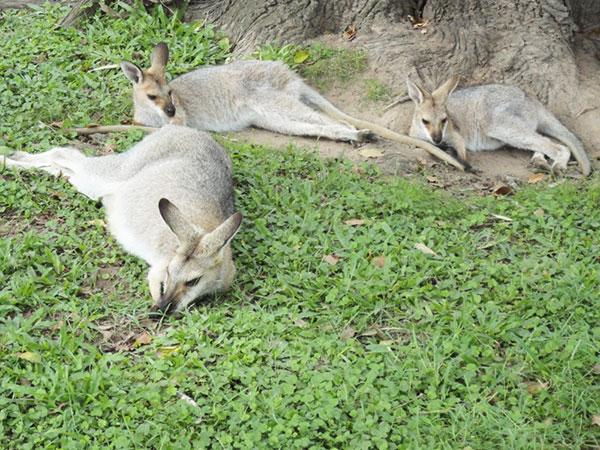 australie-brisbane-kangourou