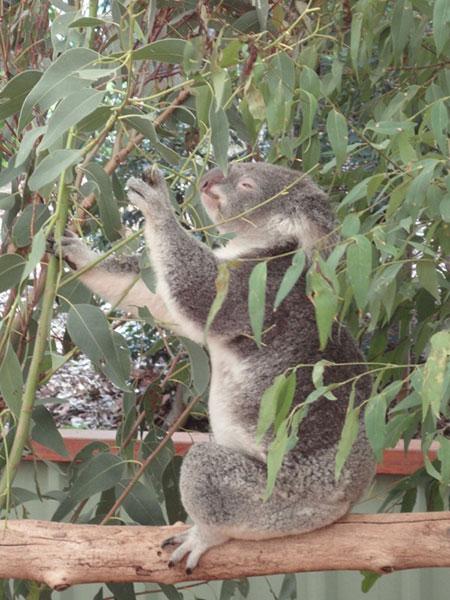 australie-brisbane-koala-2