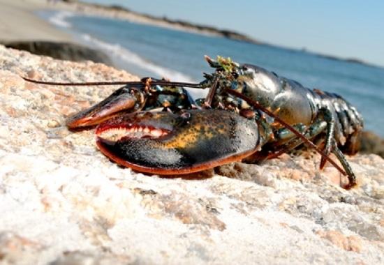 animaux-immortels-homard