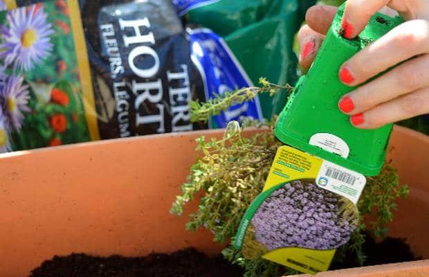 rempotage plantes aromatiques