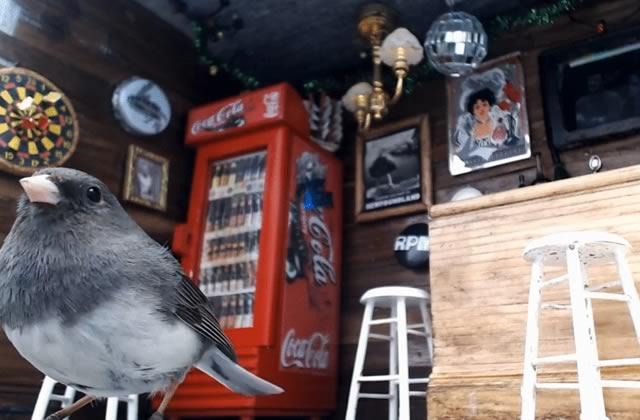 Un bar pour oiseaux filmé 24h/24 au Canada