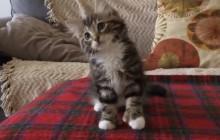 Le chaton qui danse sur « Uptown Funk», ou la preuve que les chats dominent l'Internet