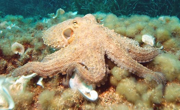 poulpe sous l'eau