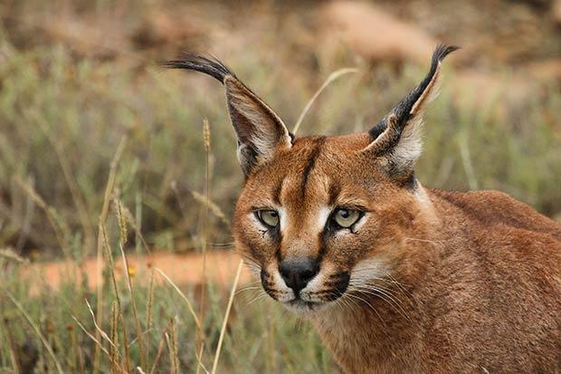 felins-chats-caracal-2