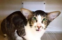 Le chat sosie de Kylo Ren (Adam Driver), nouvelle star des Internets