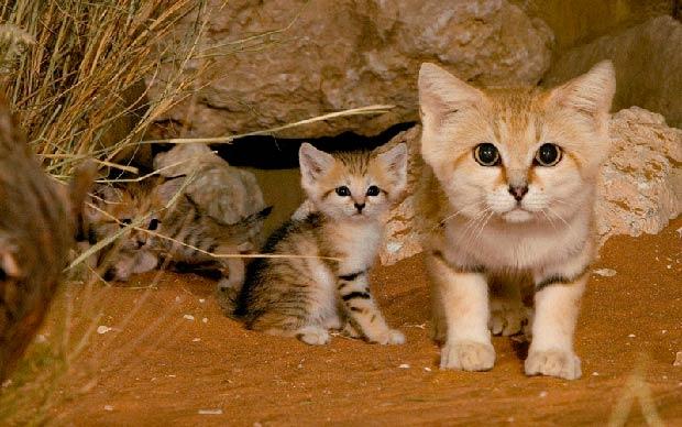 felins-succes-chat-2-chat-sables