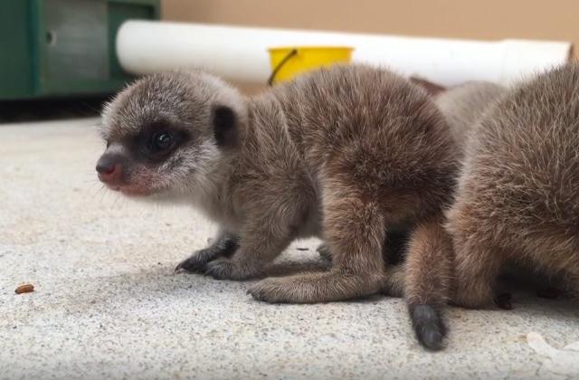 Deux bébés suricates nés dans un zoo de Sydney, ou la déferlante de mignonnitude dans tes Internets