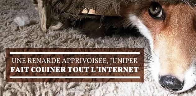 Une renarde apprivoisée, Juniper, fait couiner tout l'Internet