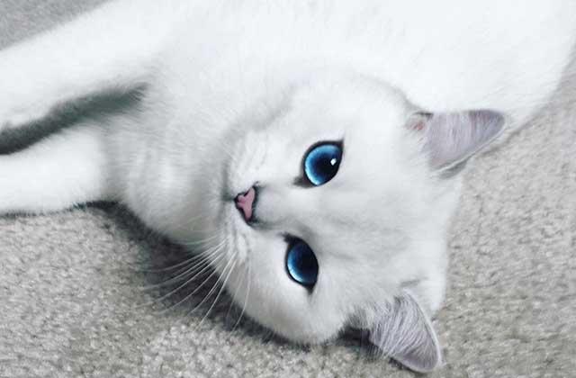 Coby, le chat beaucoup plus beau que le plus beau de tes matous