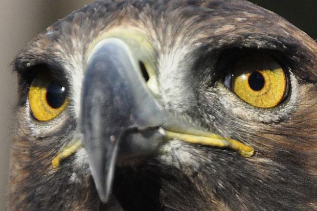 oiseaux-psychopathes-aigle-royal