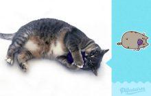 Le gros chat Pusheen recréé avec un VRAI gros chat