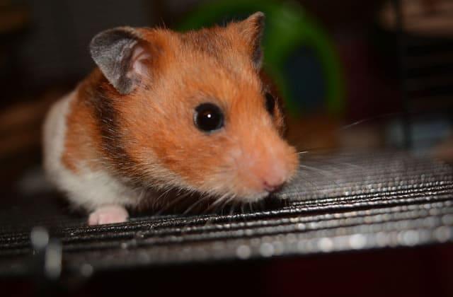 Un hamster décide pour une lycéenne si elle doit réviser son bac ou pas!