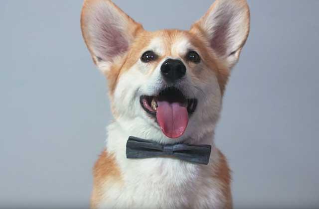 «100 Years of (corgi) Beauty », parce que les chiens aussi ont leurs looks cultes