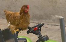 «Paulette, la poule libérée», une web série YouTube contre la maltraitance animale