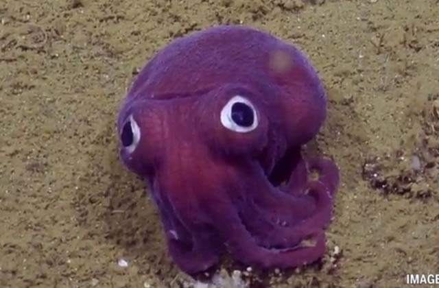 Le mini-poulpe violet aux grands yeux, bien trop mignon pour un invertébré