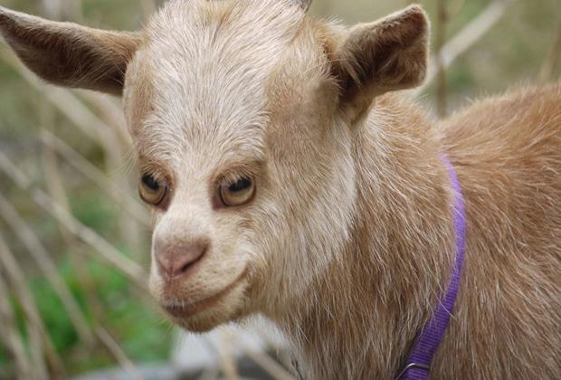 Si les animaux avaient les yeux de face le diapo du malaise - Images d animaux de la ferme ...