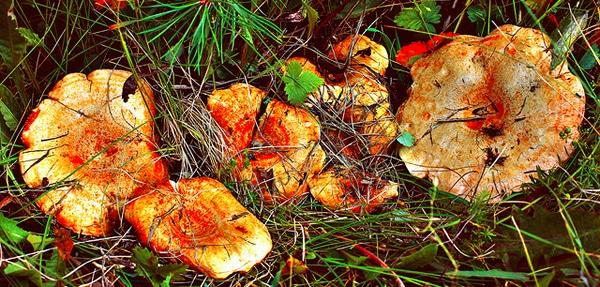 champignons-bois