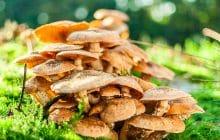 Les champignons des bois, ma madeleine de Proust automnale