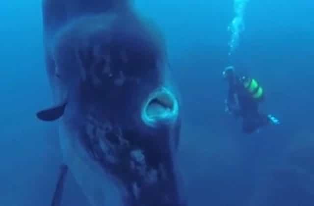 Un poisson-lune de quatremètres de haut, une rencontre ahurissante