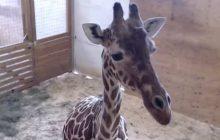April la girafe continue de fasciner Internet, son zoo répond aux questions des curieux