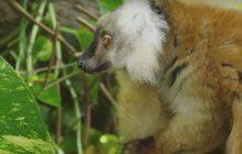 Les lémuriens complètement défoncés, la vidéo la plus drôle du jour