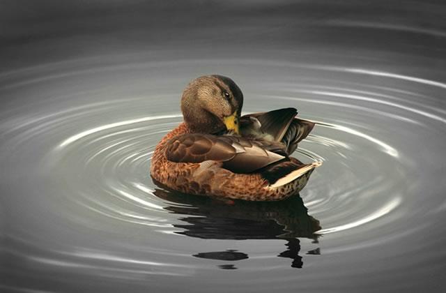 Pourquoi vous ne devriez pas donner du pain aux canards