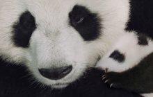 Venez découvrir les pandas, les léopards et les singes dans leur intimité grâce à «Nés en Chine»!