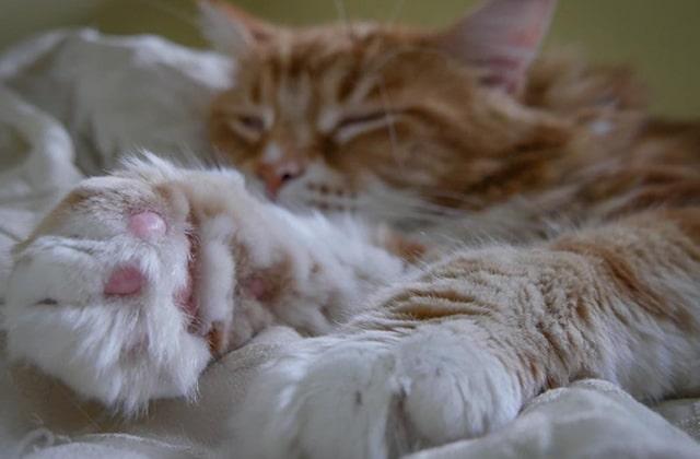 Le plus long chat du monde aux énormes patounes, ton nouveau compte Instagram préféré