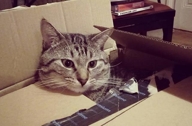 Pourquoi les chats aiment-ils se caler dans des boîtes?