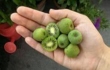 Découvre les mini-kiwis, une nouveauté aussi savoureuse qu'adorable