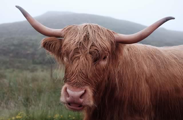De nombreux Américains pensent que le lait au chocolat vient… des vaches marron