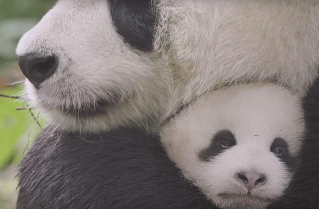 Tout plaquer pour aller câliner des bébés pandas